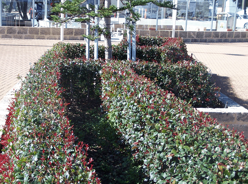 hedges with new growth at Fremantle - Landscapes For Life