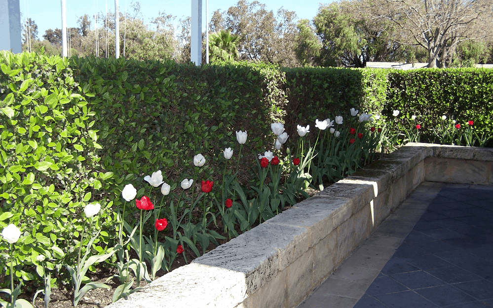 tulips and green hedges at Royal Perth Yacht Club - Landscapes For Life