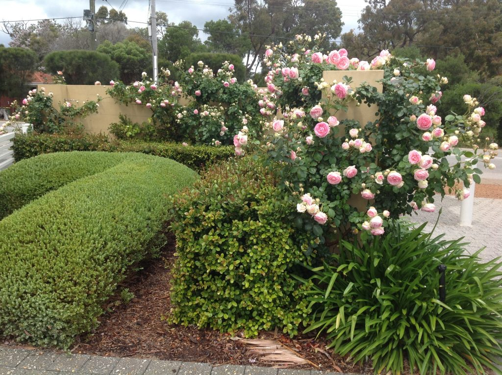 Flowering pink rose bushes with green hedges - Landscapes For Life