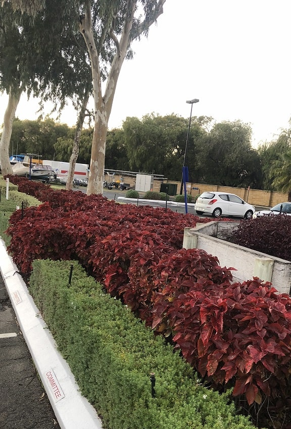 green and red foliage for a commercial property hedge - Landscapes For Life